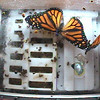 Monarchs on the Space Station : Monarchs on the International Space Station, photos downloaded daily.